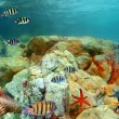 Shoal of Fish: Scissortail Sergeants on coral reef — Stock Photo