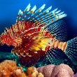 red lionfish — Stock Photo #5035784
