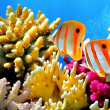 Coral reef and Copperband butterflyfish - Stock Photo