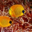 Masked Butterfly Fish — Stock Photo #5035803