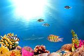 A school of Sergeant major fish — Stock Photo