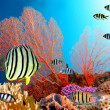 Eight-banded Butterflyfish (Chaetodon octofasciatus) — Foto Stock