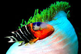 Red Breasted Wrasse(Cheilinus fasciatus) — Foto Stock
