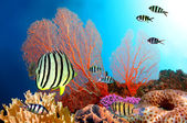 Eight-banded Butterflyfish (Chaetodon octofasciatus) — Foto de Stock