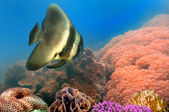 Spadefish in the Siam Bay, Thailand — Stock Photo