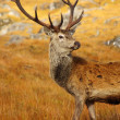 Red Deer Stag in Autumn. — Stock Photo