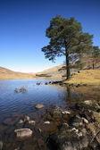 Scots Pine Tree. — Stock Photo