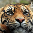 Amur Tiger. — Stock Photo #4727960
