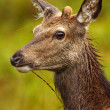 Wild Roe Deer. — Stock Photo