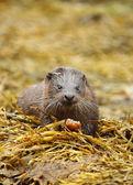 Dzikie wydry. — Zdjęcie stockowe