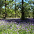 Stock Photo: Bluebell Woods.