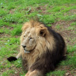 Stock Photo: Asiatic Lion.