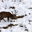 Stock Photo: Red Deer Stag in Winter.