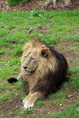 Asiatic Lion. — Stock Photo
