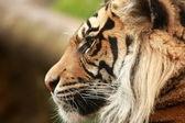 Tiger huvud. — Stockfoto