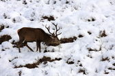 Red Deer Stag in Winter. — Stock Photo
