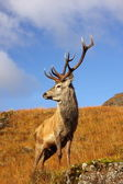 Wild Red Deer Stag. — Stock Photo
