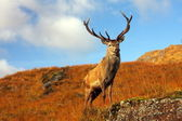 Wild Red Deer Stag. — 图库照片