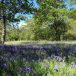 Bluebells. — Stock Photo