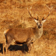 Stock Photo: Wild Red Deer Stag.