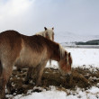 Ponies feeding in winter. — Stock Photo