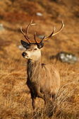 Red Deer Stag. — Stock Photo