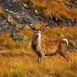 Stock Photo: Red Deer Stag.