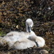 Stock Photo: Cygnets.