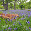 Bluebells. - Stock Photo