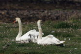 Mute Swans with Cygnets. — Stock Photo