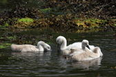 Young Mute Swans. — Stock Photo