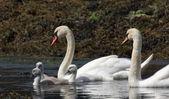 Mute Swans. — Stock Photo