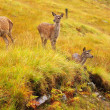Wild Red Deer Hinds. - Stock Photo
