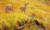 Cervo selvatico hinds. — Foto Stock