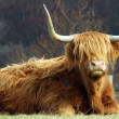 Stock Photo: Highland Cow.
