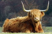 The Highland Cow. — Stock Photo