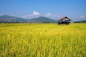 Hut and rice field — Stock Photo
