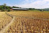 Rice stubble — Stock Photo