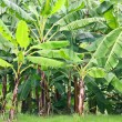 Banana tree — Stock Photo #4793360