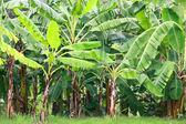 Banana tree — Stock Photo