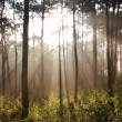 Sunbeam shinning thought fog in midst of pines — Stock Photo #4823453