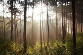 Sunbeam shinning thought fog in the midst of pines — Stock Photo