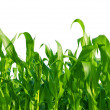 Corn Field — Stock Photo #3967062
