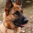 German shepherd — Stock Photo #4209589