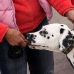 Portrait of a dog dalmatian — Stock Photo