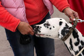 Portrait of a dog dalmatian — Stock Photo