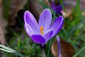 Purple Marguerite — Stock Photo