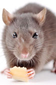 Rat with cheese on a white background — Stock Photo