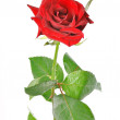One red rose with green leaves on a white background — Stock Photo