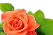 Dark orange rose with dew drops close-up — Photo